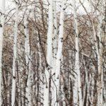 Boho cozy Colorado Cabin by Thom Filicia - snow on aspen trees