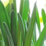 Hello, My Boho Spring! - daffodils 9
