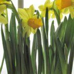 Hello, My Boho Spring! - daffodils 10