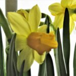 Hello, My Boho Spring! - daffodils 14
