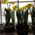 Hello, My Boho Spring! - daffodils 12