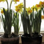 Hello, My Boho Spring! - daffodils 3