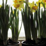 Hello, My Boho Spring! - daffodils 4