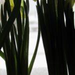 Hello, My Boho Spring! - daffodils 6