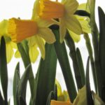 Hello, My Boho Spring! - daffodils 1