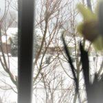 Hello, My Boho Spring! - daffodils 5